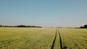 麦田鸟瞰图 在风的黄色耳朵麦子摇动 收获,生长在领域的麦子 股票录像