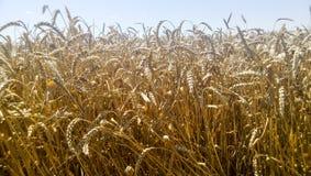 麦田 在领域的夏天 农业在库班河州农业大学 免版税库存照片
