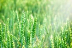 麦田-年轻绿色麦子 免版税库存图片