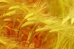 黑麦的一个宏观领域的照片 库存图片