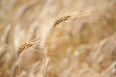黑麦的两个耳朵 免版税库存照片
