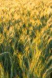 黑麦的域 免版税库存照片