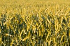 黑麦的域 免版税图库摄影