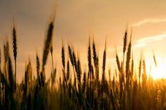 黑麦的小尖峰在日落的 免版税库存图片