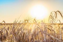 黑麦的成熟小尖峰在光芒低太阳的由后照 免版税库存照片