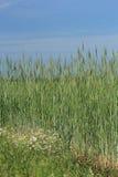 黑麦的未成熟的耳朵 库存照片