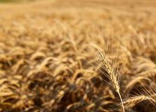 黑麦的耳朵 库存图片