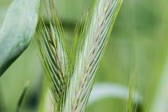 黑麦的耳朵 免版税库存图片