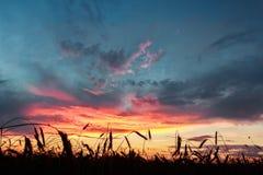 黑麦的谷物耳朵调遣在绯红色日落多云天空背景  免版税库存图片