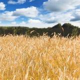 黑麦的金黄领域在多云天空下 免版税库存图片