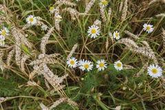 黑麦的雏菊和耳朵在领域的 库存照片