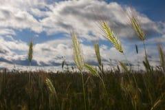黑麦角宿在领域的 免版税库存图片