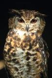 麦金德的老鹰猫头鹰 库存照片