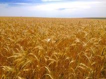 黑麦领域在夏天 免版税库存图片