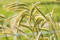 年轻黑麦 库存照片