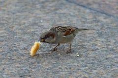 麻雀吃白面包 免版税库存照片