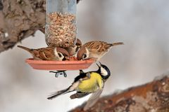 麻雀和北美山雀在自制饲养者 库存图片
