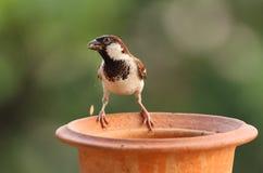 麻雀哺养 免版税图库摄影