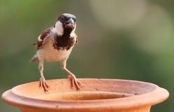 麻雀哺养 免版税库存照片