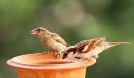 麻雀哺养 库存图片