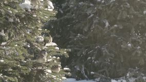 麻雀在冷杉森林里 影视素材