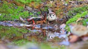 麻雀在森林水坑的饮料水 股票录像