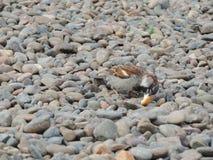 麻雀在石头吃 免版税图库摄影