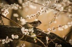 麻雀坐开花的杏子分支  免版税库存照片