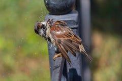 麻雀坐篱芭在沐浴摆脱在水池以后 免版税库存图片