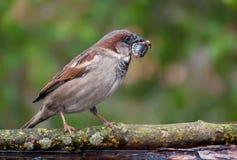 麻雀拿着在额嘴的一个臭虫 图库摄影