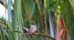 麻雀清洁羽毛 图库摄影