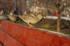 麻雀的图象在自然背景的 双翼飞机 库存照片