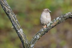 麻雀红喉刺莺的白色 库存图片
