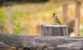 麻雀-在老木篱芭的传球手domesticus用在他的额嘴的食物 免版税库存照片