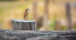 麻雀-在老木篱芭的传球手domesticus用在他的额嘴的食物 图库摄影
