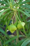 黄夹竹桃属peruviana果子在自然庭院里 库存照片