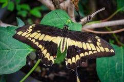 黄斑,巨型Swallowtail Papilio cresphontes蝴蝶 库存照片