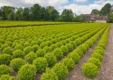 黄杨属荷兰苗圃结构树 免版税库存图片