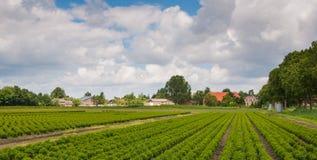 黄杨属荷兰苗圃结构树 图库摄影
