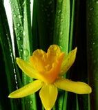 黄水仙下落查出的宏观雨白色 库存图片