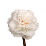 黄水仙双查出的唯一白色 免版税库存图片