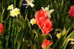 黄水仙和郁金香点燃了启迪由阳光 库存照片