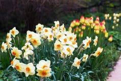 黄水仙在公园 免版税库存图片