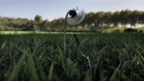 黄水仙在绿草叶子中间摇摆在大风天 影视素材