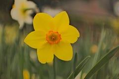 黄水仙在花床上 免版税图库摄影