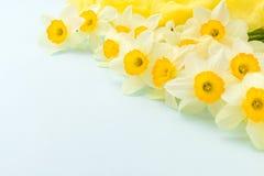 黄水仙春天开花与在蓝色淡色背景的黄色纺织品装饰与拷贝空间 库存照片