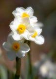 黄水仙梦想的白色 库存图片