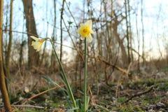 黄水仙在森林里 图库摄影