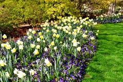 黄水仙花补丁在公园 库存图片