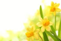 黄水仙花 免版税库存图片